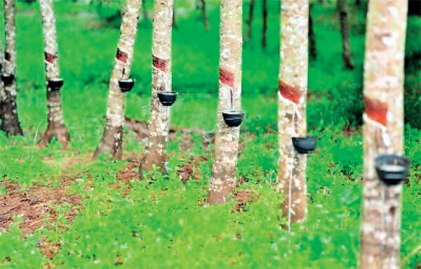 15% Fall In Prices Of Natural Rubber